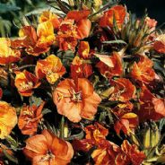 Oenothera Sunset Boulevard 300 seeds